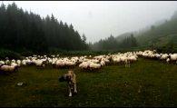 Çalıkoba Yaylası Koyunlar ve yağmur onları bekleyen çoban köpeği…